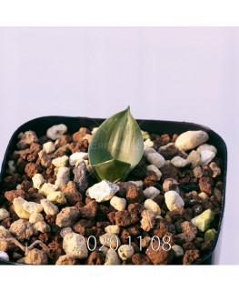 Lachenalia ensifolia ラケナリア エンシフォリア 白花  20080