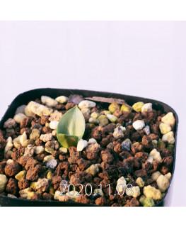 Lachenalia ensifolia ラケナリア エンシフォリア 白花  20081