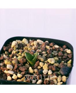 Lachenalia ensifolia ラケナリア エンシフォリア 白花  20082