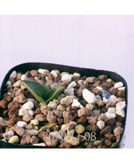 Lachenalia ensifolia ラケナリア エンシフォリア 白花  20087
