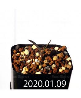 ラケナリア カルチコラ IB22635 実生 20102