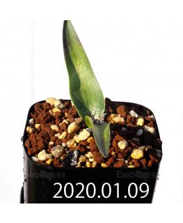 ラケナリア カルチコラ IB22635 実生 20115
