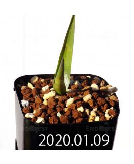 ラケナリア カルチコラ IB22635 実生 20117
