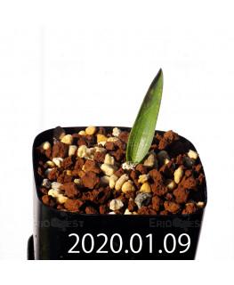 ラケナリア カルチコラ IB22635 実生 20119