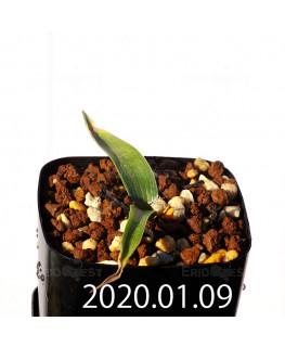 ラケナリア カルチコラ IB22635 実生 20122