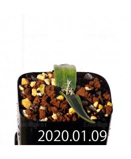 ラケナリア カルチコラ IB22635 実生 20123