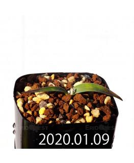 ラケナリア カルチコラ IB22635 実生 20124