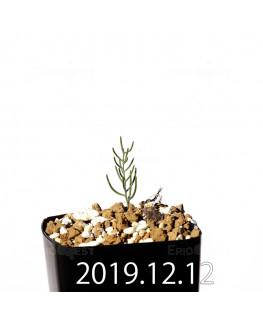 Eriospermum aphyllum エリオスペルマム アフィルム EQ125  20148