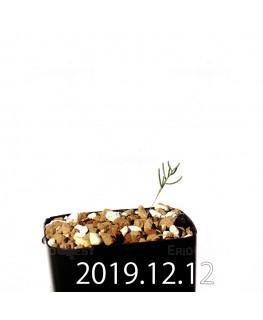 エリオスペルマム アフィルム EQ125 実生 20149