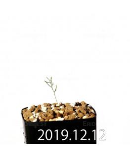 エリオスペルマム アフィルム EQ125 実生 20150