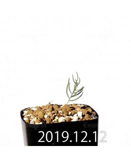エリオスペルマム アフィルム EQ125 実生 20156