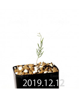 Eriospermum aphyllum エリオスペルマム アフィルム EQ125  20157