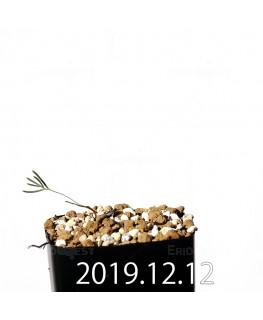 エリオスペルマム アフィルム EQ125 実生 20165