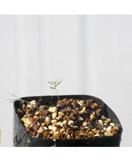 Eriospermum aphyllum エリオスペルマム アフィルム EQ125  20165
