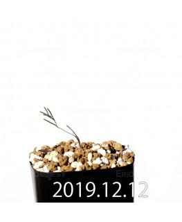 エリオスペルマム アフィルム EQ125 実生 20175