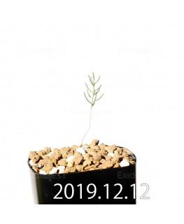 エリオスペルマム アフィルム EQ125 実生 20179