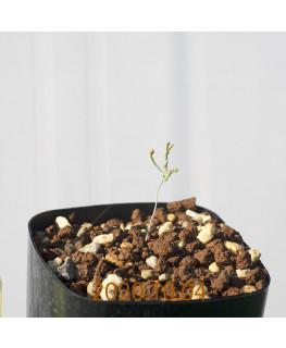 Eriospermum aphyllum エリオスペルマム アフィルム EQ125  20179