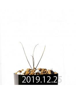 アンドロキンビウム ドレゲイ EQ885 実生 20181