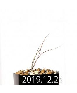 アンドロキンビウム ドレゲイ EQ885 実生 20183