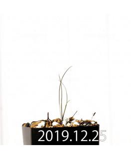 アンドロキンビウム ドレゲイ EQ885 実生 20186