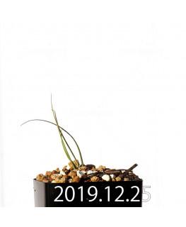 アンドロキンビウム ドレゲイ EQ885 実生 20190