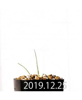 アンドロキンビウム ドレゲイ EQ885 実生 20191