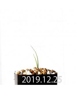アンドロキンビウム ドレゲイ EQ885 実生 20192