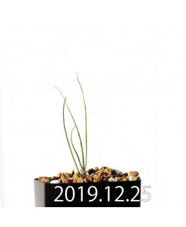 アンドロキンビウム ドレゲイ EQ885 実生 20194