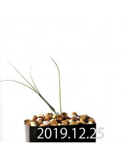 アンドロキンビウム ドレゲイ EQ885 実生 20196