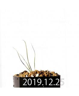 アンドロキンビウム ドレゲイ EQ885 実生 20198