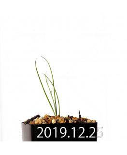 アンドロキンビウム ドレゲイ EQ885 実生 20201