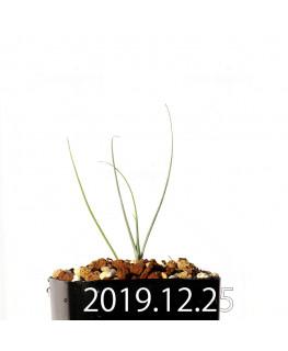 アンドロキンビウム ドレゲイ EQ885 実生 20202