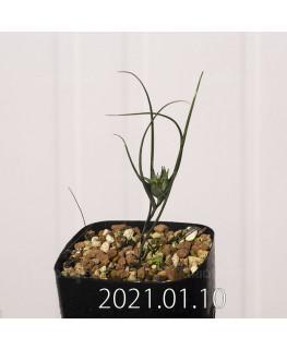 Androcymbium dregei アンドロキンビウム ドレゲイ EQ885  20204