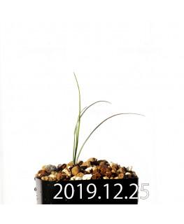 アンドロキンビウム ドレゲイ EQ885 実生 20208