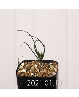 Androcymbium dregei アンドロキンビウム ドレゲイ EQ885  20212