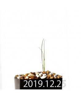 アンドロキンビウム ドレゲイ EQ885 実生 20214
