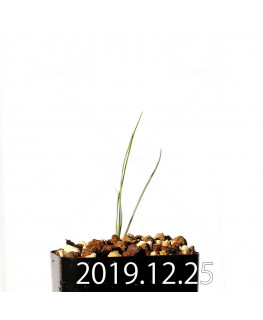 アンドロキンビウム ドレゲイ EQ885 実生 20216