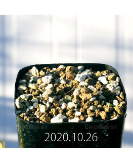 Drimia sp. ドリミア 未識別種 プラティフィラ  20236