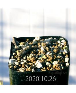 Drimia sp. ドリミア 未識別種 プラティフィラ  20239