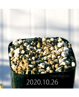 Drimia sp. ドリミア 未識別種 プラティフィラ  20242