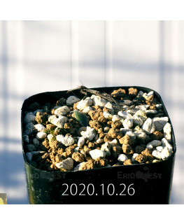 Drimia sp. ドリミア 未識別種 プラティフィラ  20243