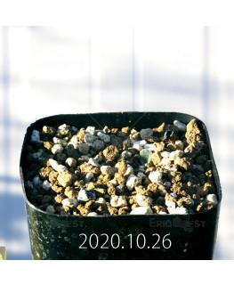 Drimia sp. ドリミア 未識別種 プラティフィラ  20244
