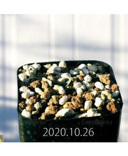 Drimia sp. ドリミア 未識別種 プラティフィラ  20245