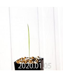 グラジオラス ウイシアエ EQ465 子株 20262