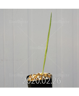 グラジオラス ウイシアエ EQ465 子株 20264