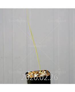 グラジオラス ウイシアエ EQ465 子株 20272
