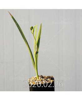 グラジオラス ウイシアエ EQ465 子株 20277