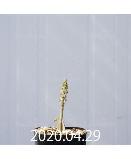 ラケナリア ラティメラエ EQ886 実生 20327