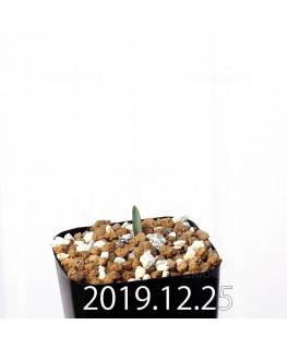 ラケナリア ムタビリス EQ467 子株 20362