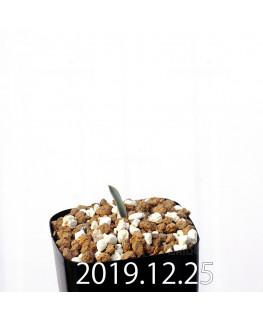 ラケナリア ムタビリス EQ467 子株 20363